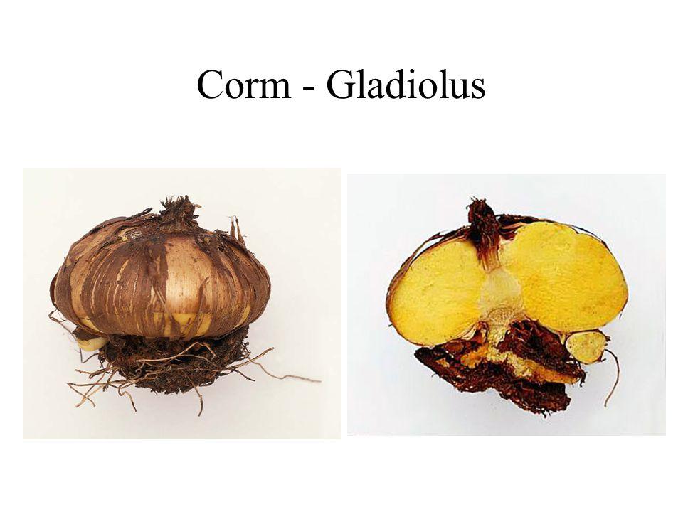 Corm - Gladiolus