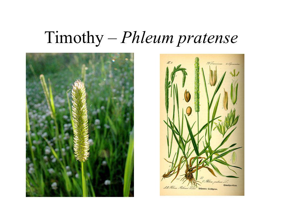 Timothy – Phleum pratense