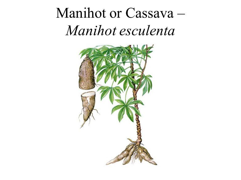 Manihot or Cassava – Manihot esculenta