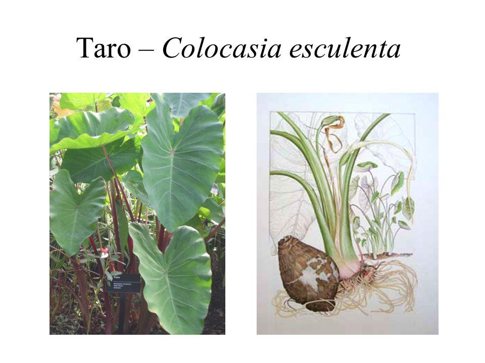 Taro – Colocasia esculenta