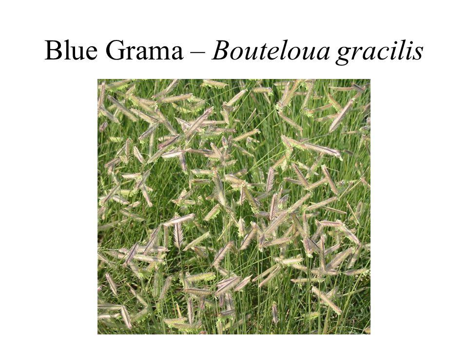Blue Grama – Bouteloua gracilis