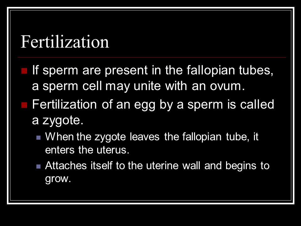 Fertilization If sperm are present in the fallopian tubes, a sperm cell may unite with an ovum. Fertilization of an egg by a sperm is called a zygote.
