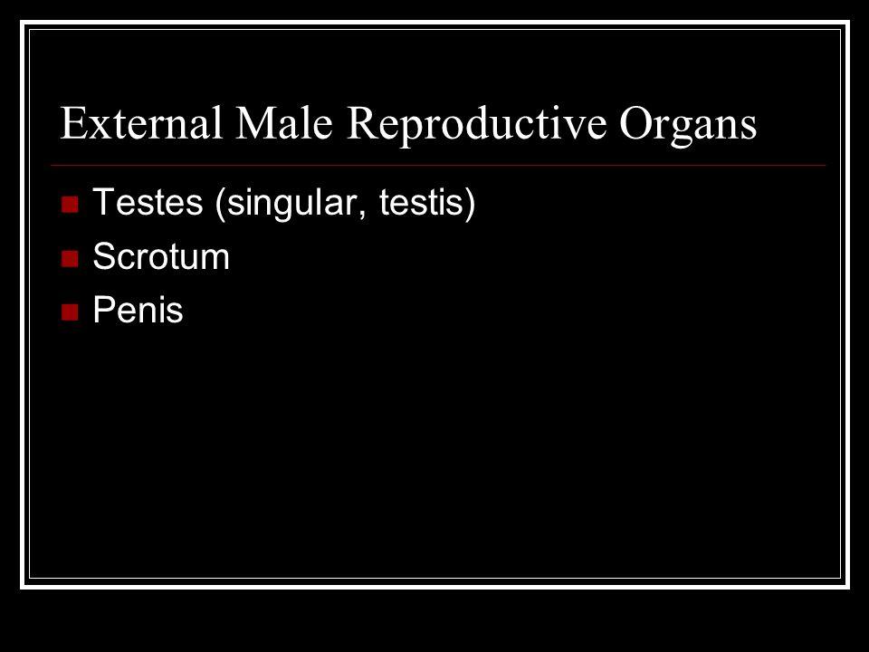 External Male Reproductive Organs Testes (singular, testis) Scrotum Penis