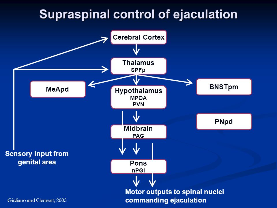 Supraspinal control of ejaculation Giuliano and Clement, 2005 Cerebral Cortex Thalamus SPFp Pons nPGi Hypothalamus MPOA PVN Midbrain PAG MeApd BNSTpm PNpd Sensory input from genital area Motor outputs to spinal nuclei commanding ejaculation