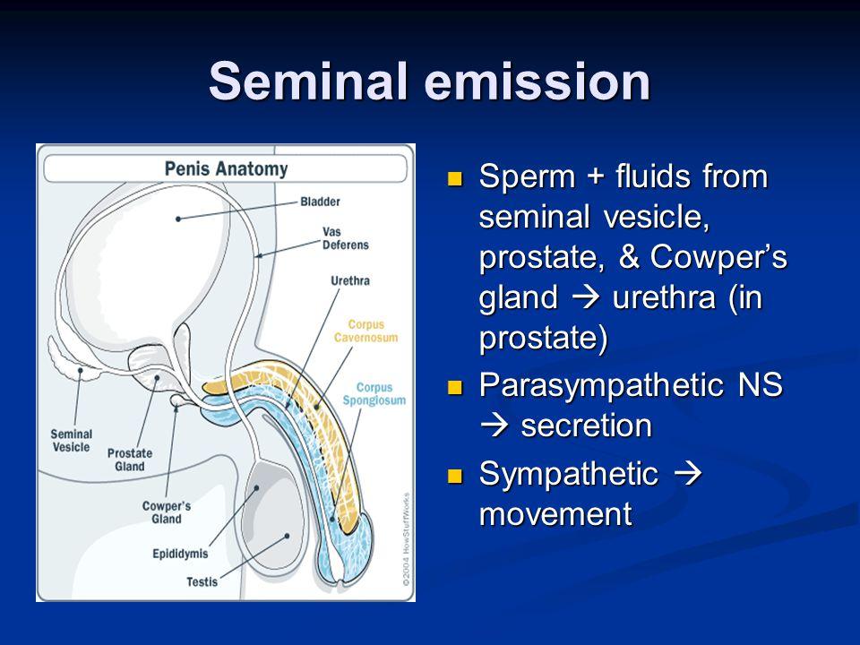 Seminal emission Sperm + fluids from seminal vesicle, prostate, & Cowper's gland  urethra (in prostate) Parasympathetic NS  secretion Sympathetic  movement