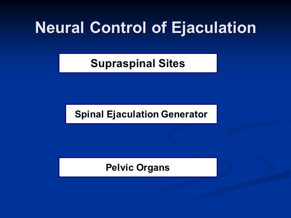 Pelvic Organs Spinal Ejaculation Generator Supraspinal Sites Neural Control of Ejaculation