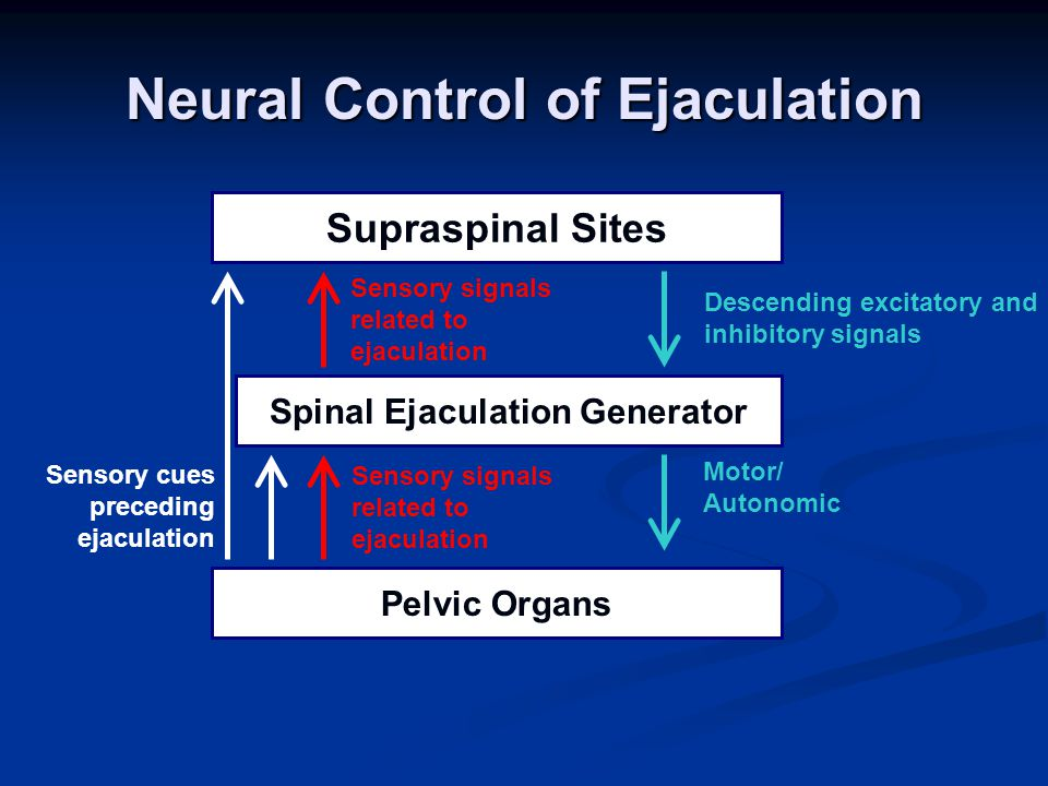 Pelvic Organs Spinal Ejaculation Generator Supraspinal Sites Sensory cues preceding ejaculation Descending excitatory and inhibitory signals Motor/ Autonomic Sensory signals related to ejaculation Sensory signals related to ejaculation Neural Control of Ejaculation