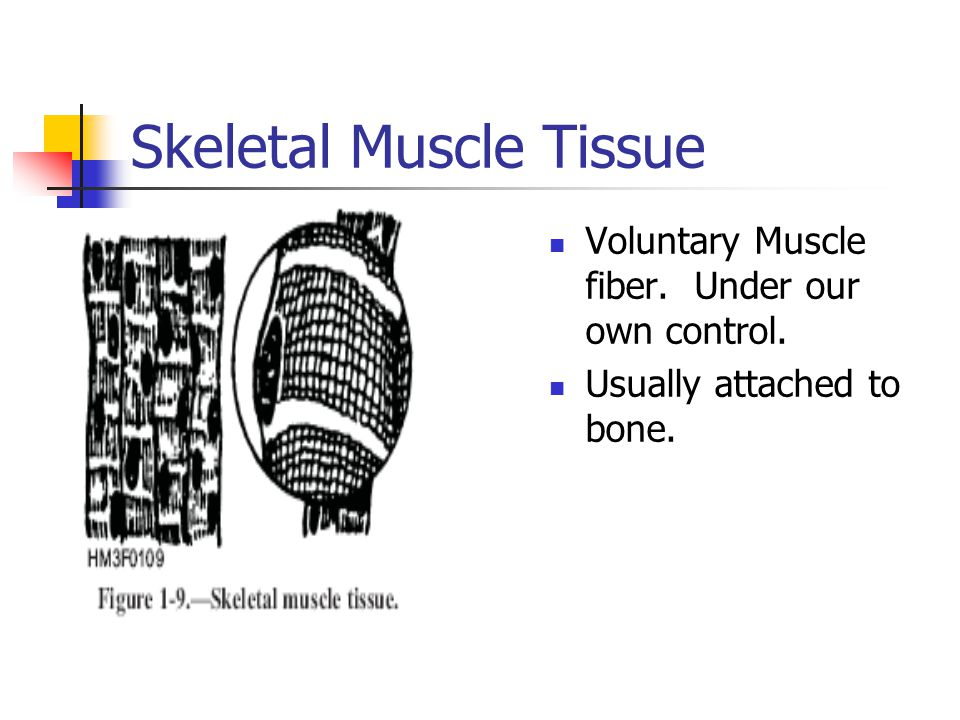 Skeletal Muscle Tissue Voluntary Muscle fiber. Under our own control. Usually attached to bone.