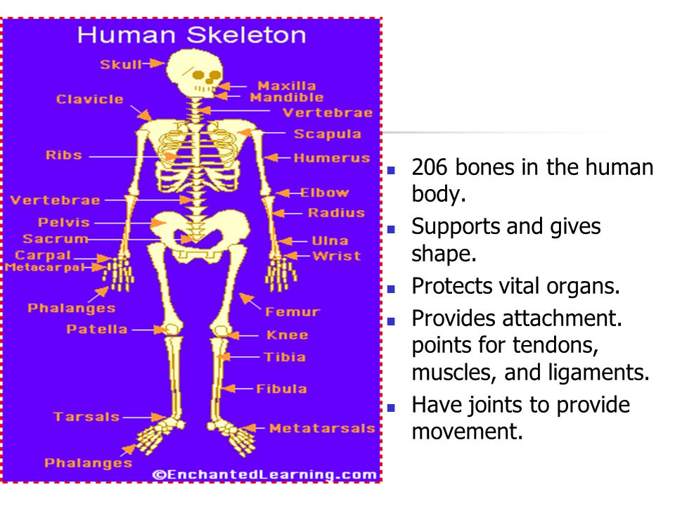 Skeletal System 206 bones in the human body.Supports and gives shape.