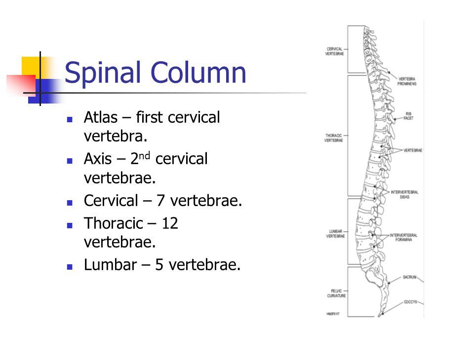 Spinal Column Atlas – first cervical vertebra. Axis – 2 nd cervical vertebrae. Cervical – 7 vertebrae. Thoracic – 12 vertebrae. Lumbar – 5 vertebrae.