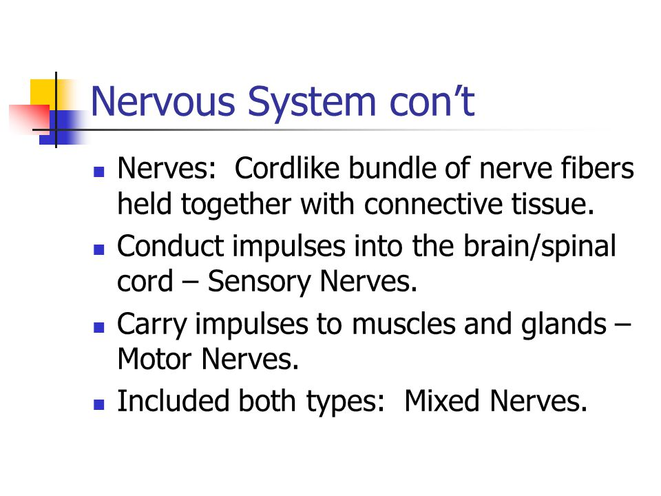 Nerves: Cordlike bundle of nerve fibers held together with connective tissue. Conduct impulses into the brain/spinal cord – Sensory Nerves. Carry impu
