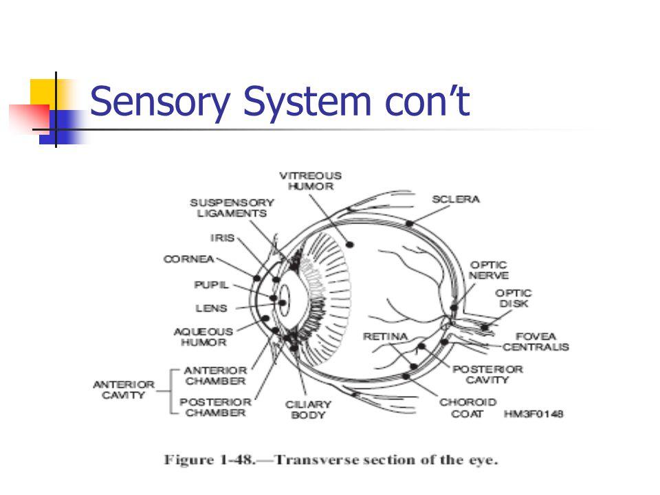 Sensory System con't