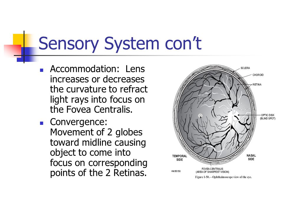 Sensory System con't Accommodation: Lens increases or decreases the curvature to refract light rays into focus on the Fovea Centralis.