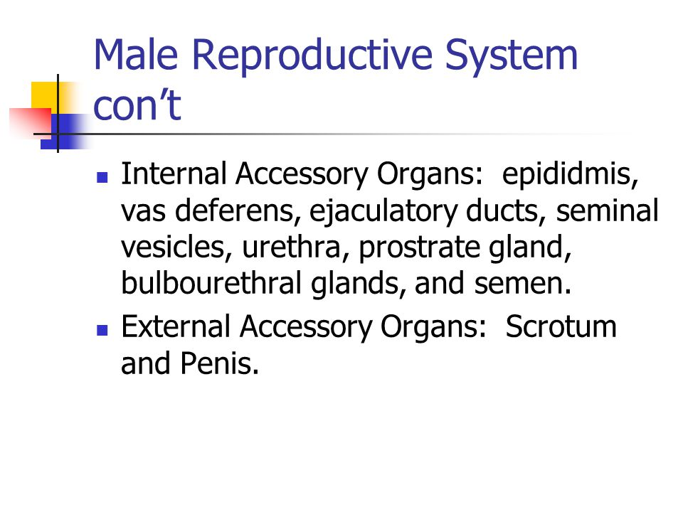 Male Reproductive System con't Internal Accessory Organs: epididmis, vas deferens, ejaculatory ducts, seminal vesicles, urethra, prostrate gland, bulbourethral glands, and semen.