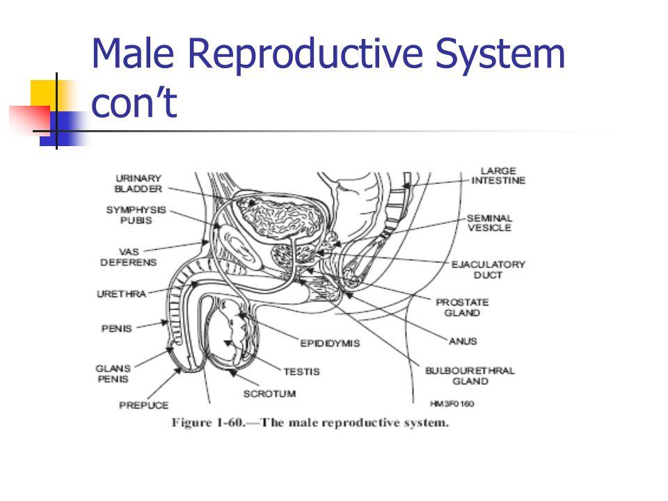 Male Reproductive System con't