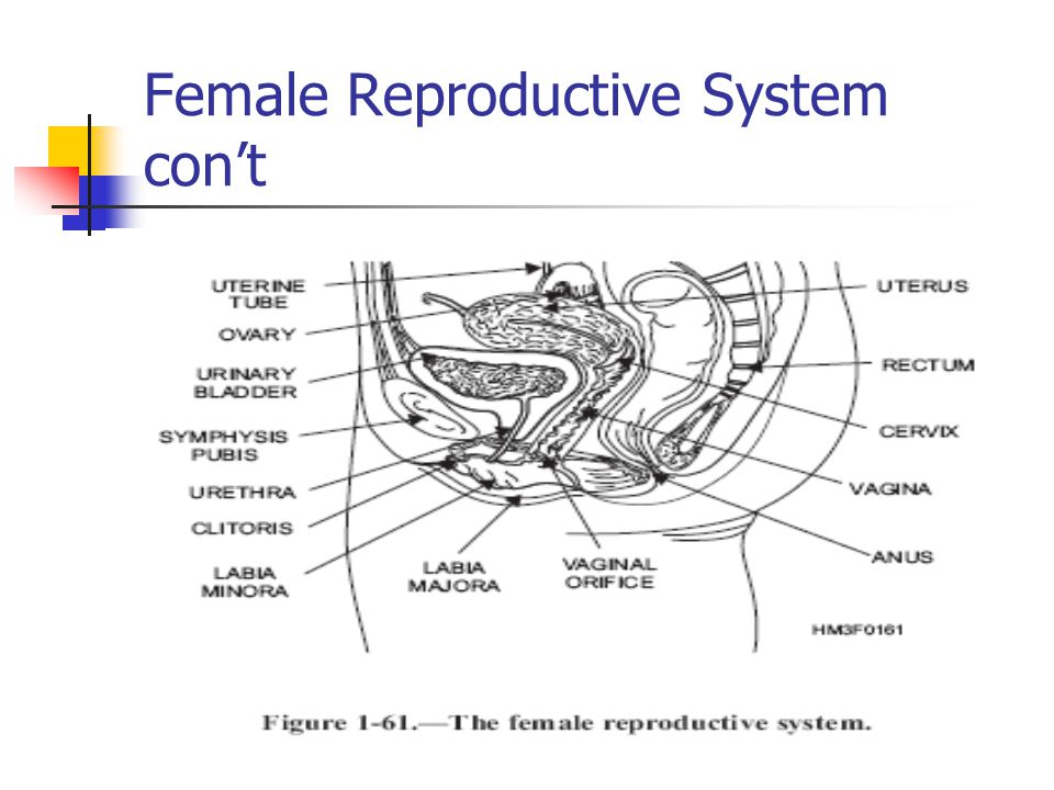 Female Reproductive System con't
