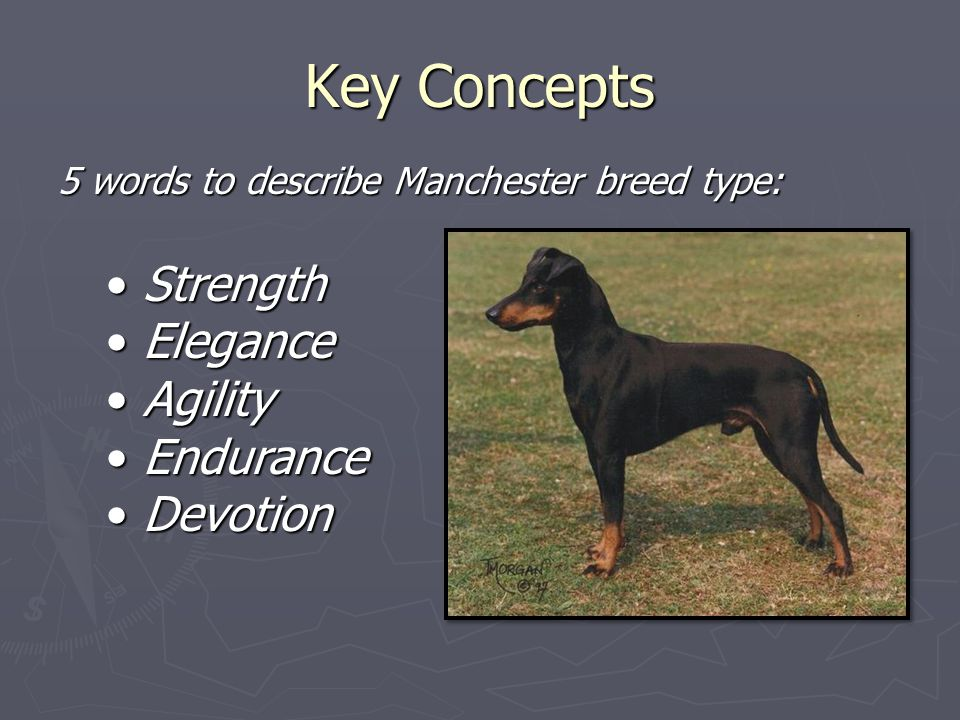 Key Concepts 5 words to describe Manchester breed type: Strength Strength Elegance Elegance Agility Agility Endurance Endurance Devotion Devotion