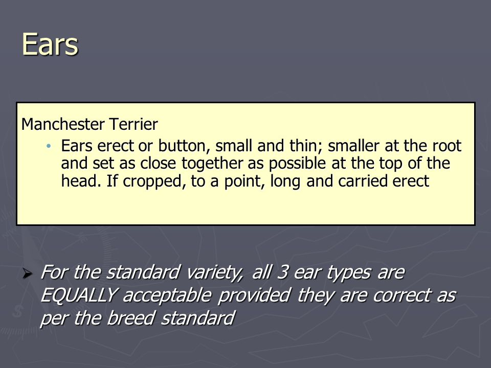 Ears Manchester Terrier Ears erect or button, small and thin; smaller at the root and set as close together as possible at the top of the head.
