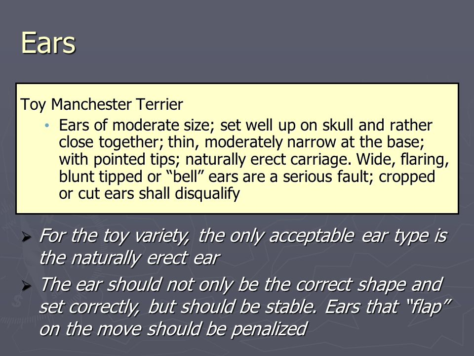 Ears Toy Manchester Terrier Ears of moderate size; set well up on skull and rather close together; thin, moderately narrow at the base; with pointed tips; naturally erect carriage.