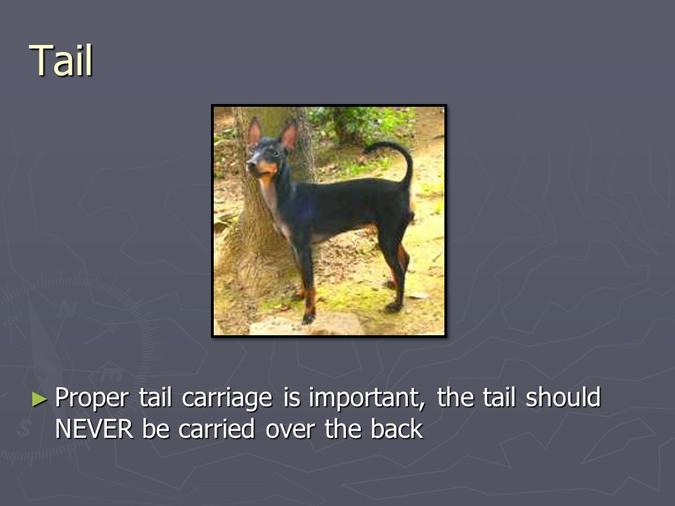 Tail ► Proper tail carriage is important, the tail should NEVER be carried over the back