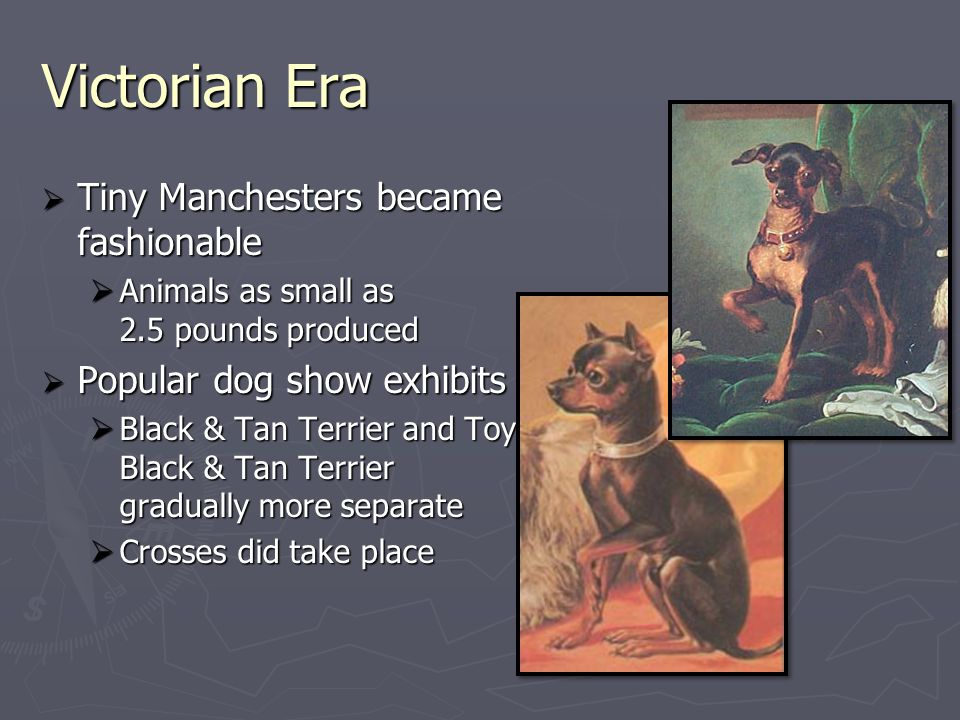 Victorian Era  Tiny Manchesters became fashionable  Animals as small as 2.5 pounds produced  Popular dog show exhibits  Black & Tan Terrier and Toy Black Black & Tan Terrier gradually more separate  Crosses did take place