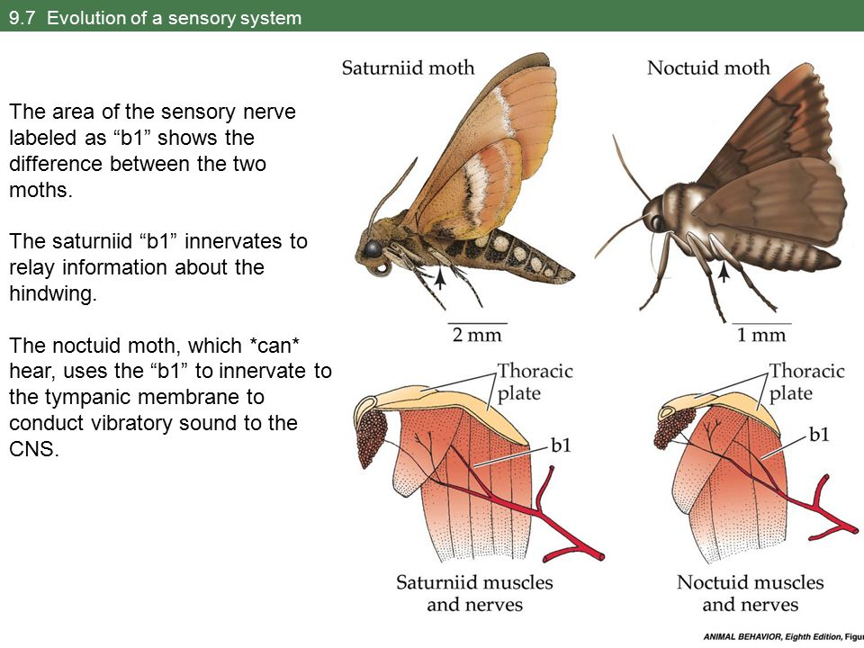 9.7 Evolution of a sensory system The area of the sensory nerve labeled as b1 shows the difference between the two moths.