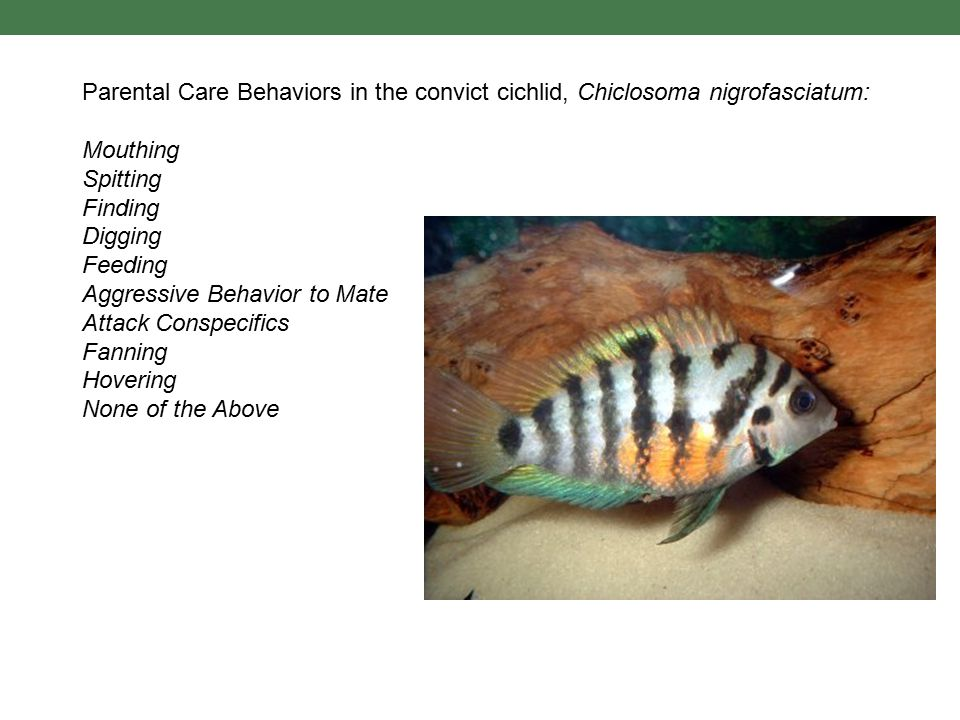 Parental Care Behaviors in the convict cichlid, Chiclosoma nigrofasciatum: Mouthing Spitting Finding Digging Feeding Aggressive Behavior to Mate Attac