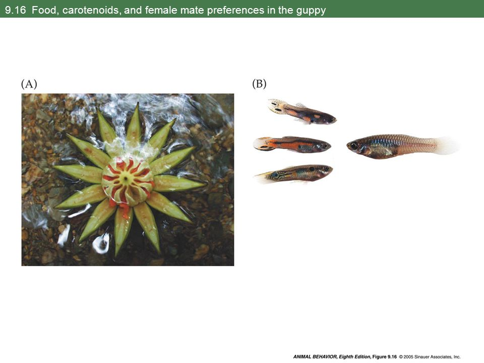 9.16 Food, carotenoids, and female mate preferences in the guppy