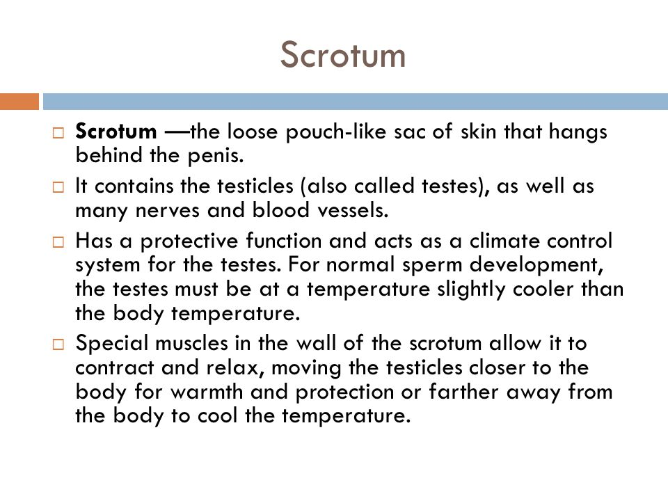 Scrotum  Scrotum —the loose pouch-like sac of skin that hangs behind the penis.  It contains the testicles (also called testes), as well as many ner