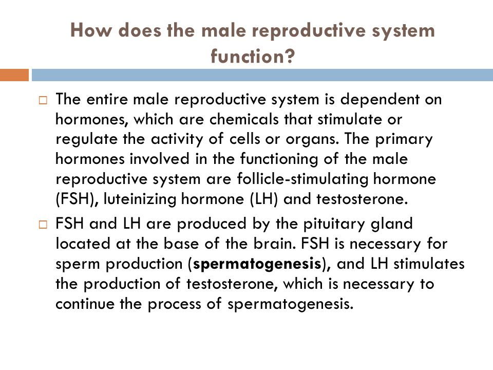 How does the male reproductive system function?  The entire male reproductive system is dependent on hormones, which are chemicals that stimulate or