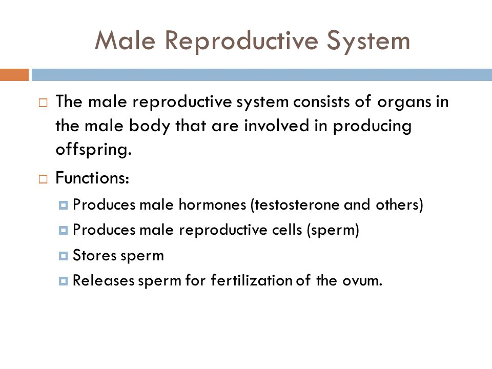 Male Reproductive System  The male reproductive system consists of organs in the male body that are involved in producing offspring.  Functions:  P