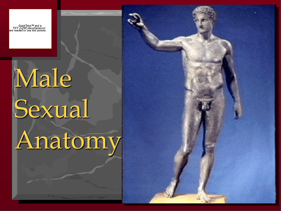 Male Sexual Anatomy