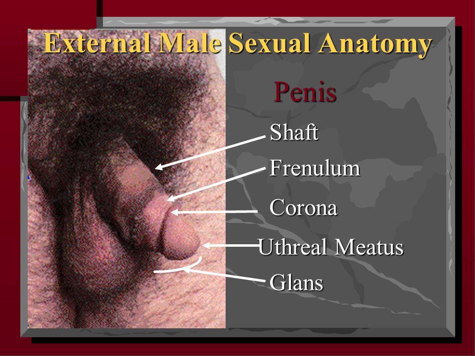 Uthreal Meatus Corona Frenulum Shaft External Male Sexual Anatomy Glans Penis