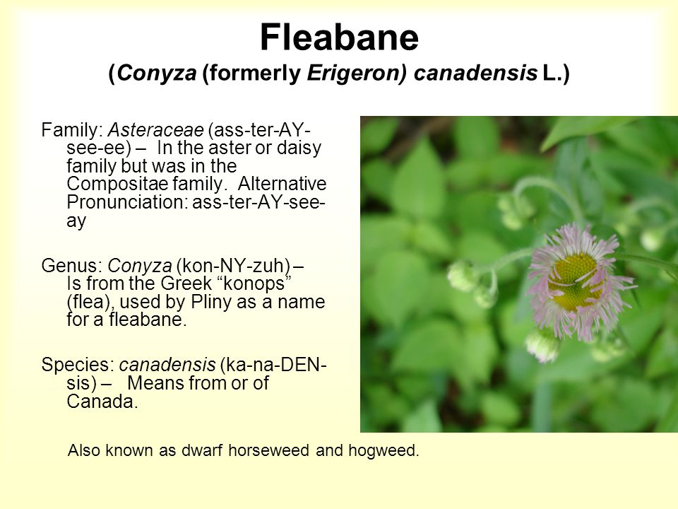 Fleabane The leaves are alternate, oblong to lance- shaped, 2 to 10 cm long.