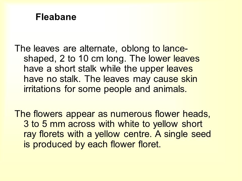 Daisy Fleabane The fruit are pale brown achenes which are shiny, very small and with a tuft of white bristles.