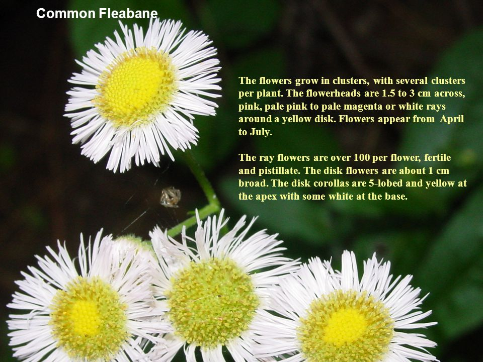 Common Fleabane Many years ago a medicinal tea was made from common fleabane.