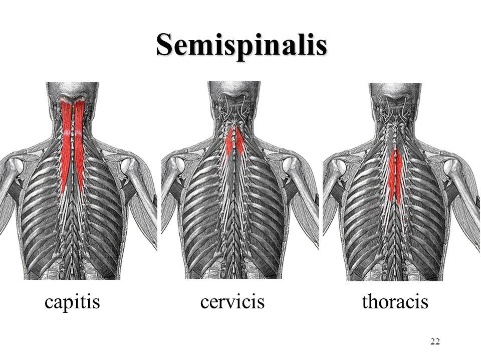22 Semispinalis thoraciscerviciscapitis