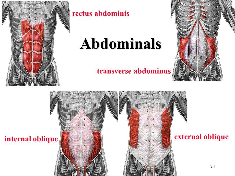 24 rectus abdominis external oblique internal oblique transverse abdominus Abdominals