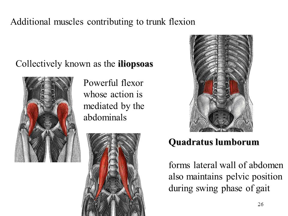 26 Additional muscles contributing to trunk flexion iliopsoas Collectively known as the iliopsoas Powerful flexor whose action is mediated by the abdo