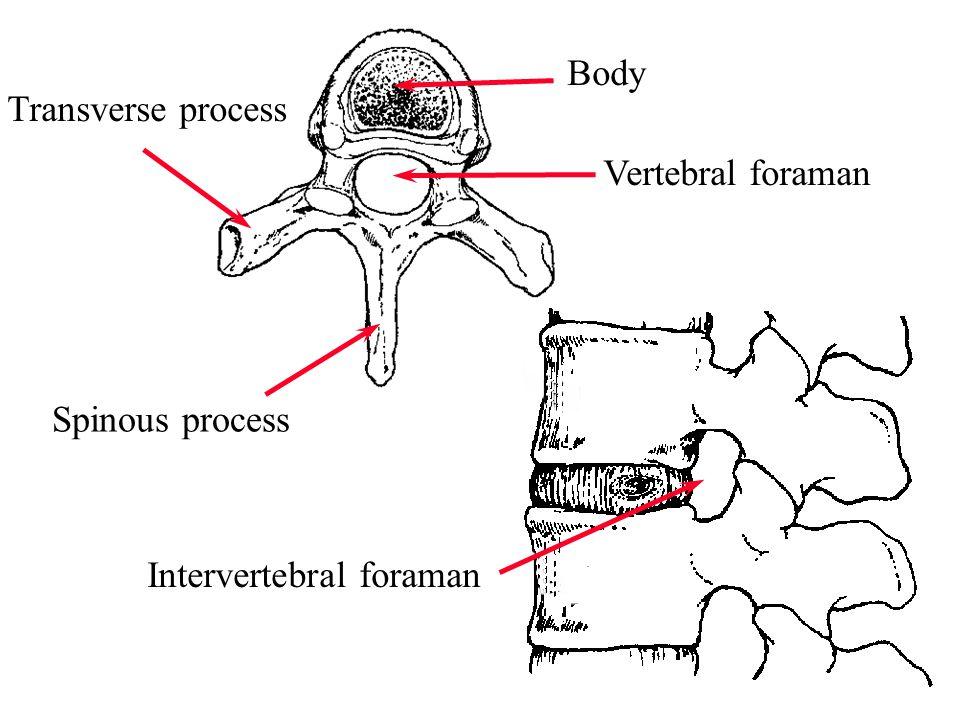 5 Spinous process Transverse process Body Vertebral foraman Intervertebral foraman
