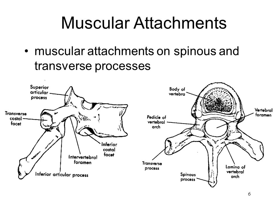 6 Muscular Attachments muscular attachments on spinous and transverse processes