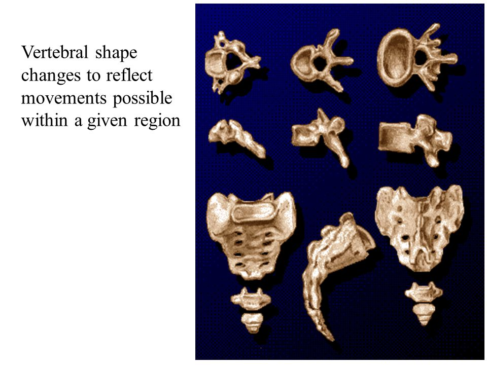 7 Vertebral shape changes to reflect movements possible within a given region
