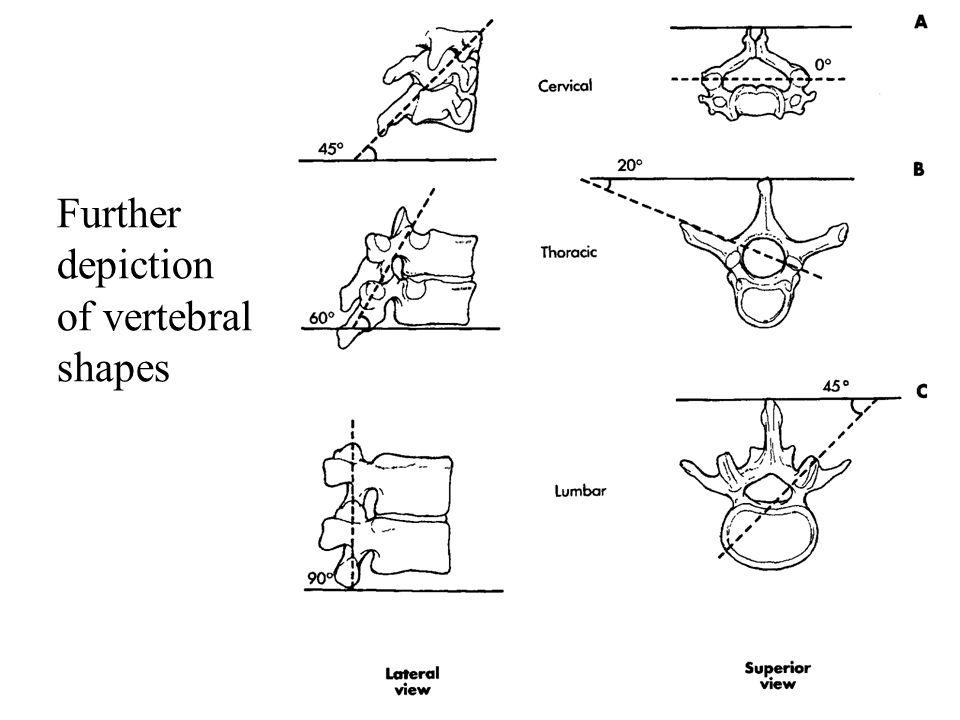 8 Further depiction of vertebral shapes
