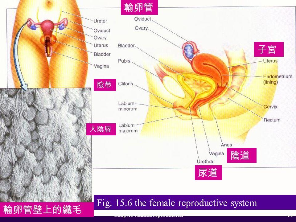 Chap.15 Animal reproduction9 Fig. 15.5 The male reproductive system 尿道 膀胱 前列腺 肛門 海綿組織 恥骨 膀胱 海綿組織