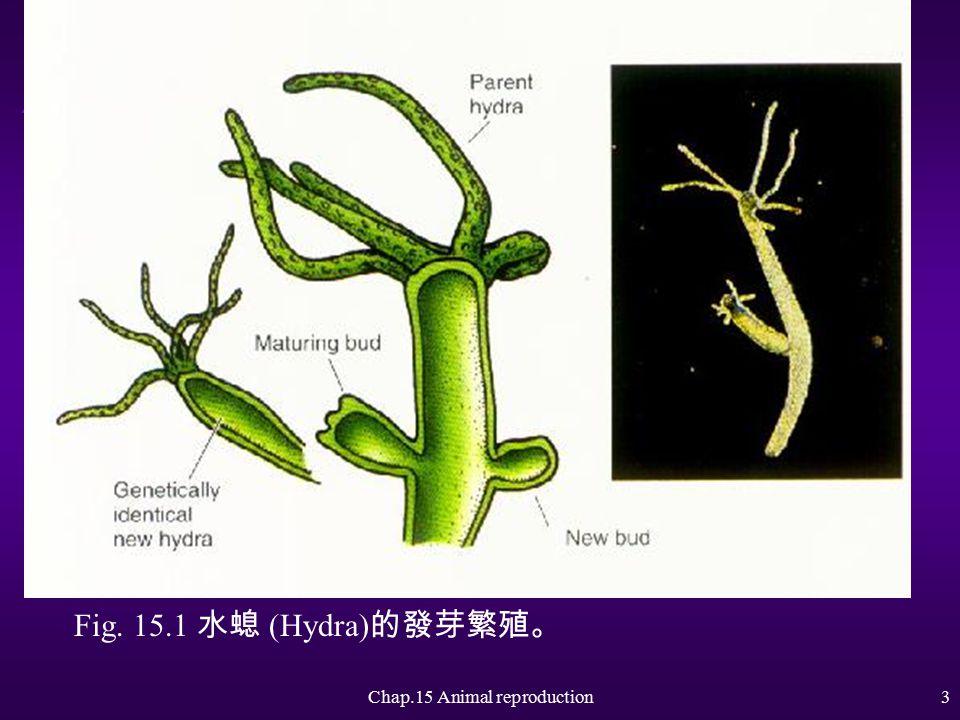 Chap.15 Animal reproduction2 Asexual Reproduction 無性繁殖 u Binary fission :一分為二 u Regeneration :再生 u budding :發芽繁殖 u parthenogenesis :孤雌生殖