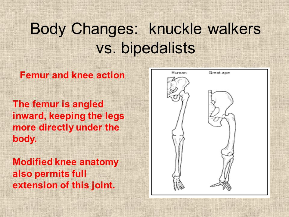 Body Changes: knuckle walkers vs.