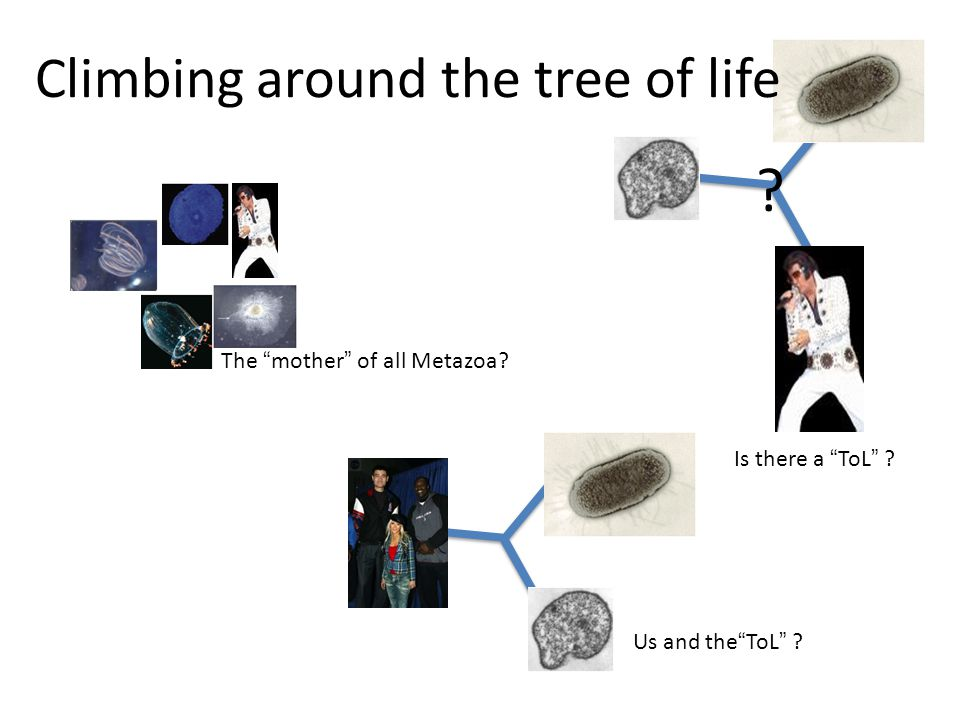 """? Is there a """"ToL"""" ? Climbing around the tree of life The """"mother"""" of all Metazoa? Us and the""""ToL"""" ?"""