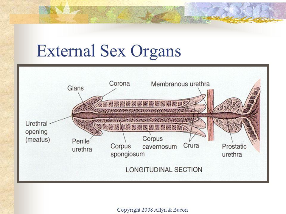 Copyright 2008 Allyn & Bacon External Sex Organs