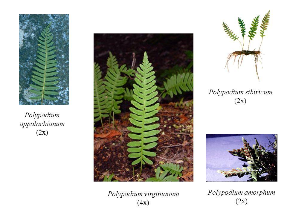 Polypodium virginianum (4x) Polypodium appalachianum (2x) Polypodium sibiricum (2x) Polypodium amorphum (2x)