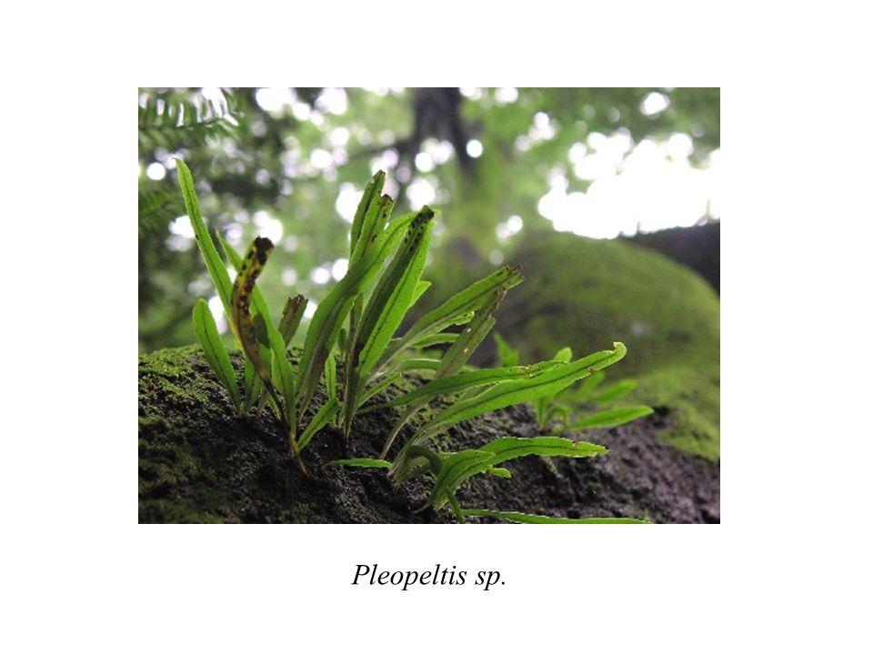 Pleopeltis sp.